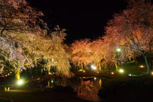 真鶴しだれ桜の宴