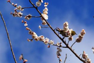 梅の宴 湯河原梅林