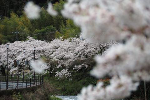熱海市泉 千歳川の桜