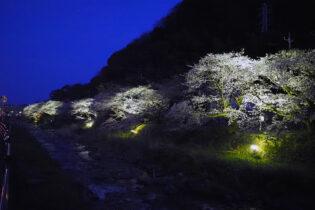 千歳川沿いの桜